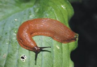 Slakken biologisch bestrijden in de hosta's.