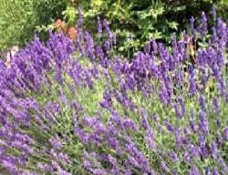 Lavendel: snoeien, stekken, plantafstand, soorten, gebruik en toerisme