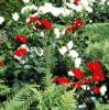 Rozen in de moderne tuin