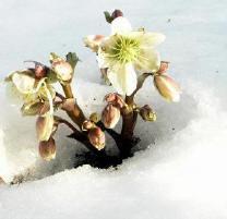 Winterwit en wintergroen gaan sfeervol samen in de tuin