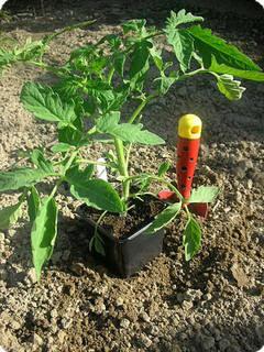 Tomaten buiten planten