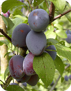 Fruit uit de tuin