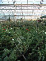 Tips bij het kiezen van een kerstboom
