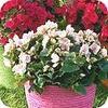 Betulia doet het goed als kamerplant, maar kan ook bloeien op terras en balkon.