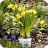 Bloembollen in pot zorgen voor een mooie wintertuin of balkon
