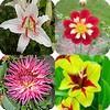 Zwoele zomerbloemen zoals de Lelies, Calla's, Dahlia's, Gladiolen zijn dankbare tuinplanten