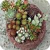 Vetplanten in pot zorgen voor onderhoudsvriendelijke tuintjes op terras en balkon