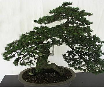 De juiste pot kiezen is bij een bonsai zeer belangrijk