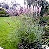 Miscanthus sinensis 'Kleine Silberspinne': prachtriet  - Chinees riet