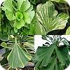 Ginkgo biloba: Enkele nieuwe zeldzame cultivars die ook geschikt zijn voor kleinere tuinen.