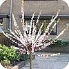 Prunus dulcis - amandelboom: soorten, gebruik, snoei, planten,...