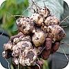 Aardperen groente en sierplant welke geen problemen geven voor mensen met suikerziekte