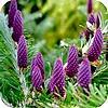Abies koreana of de Koreaanse spar is een mooie, traag groeiende conifeer voor de kleine tuin of als solitaire plant
