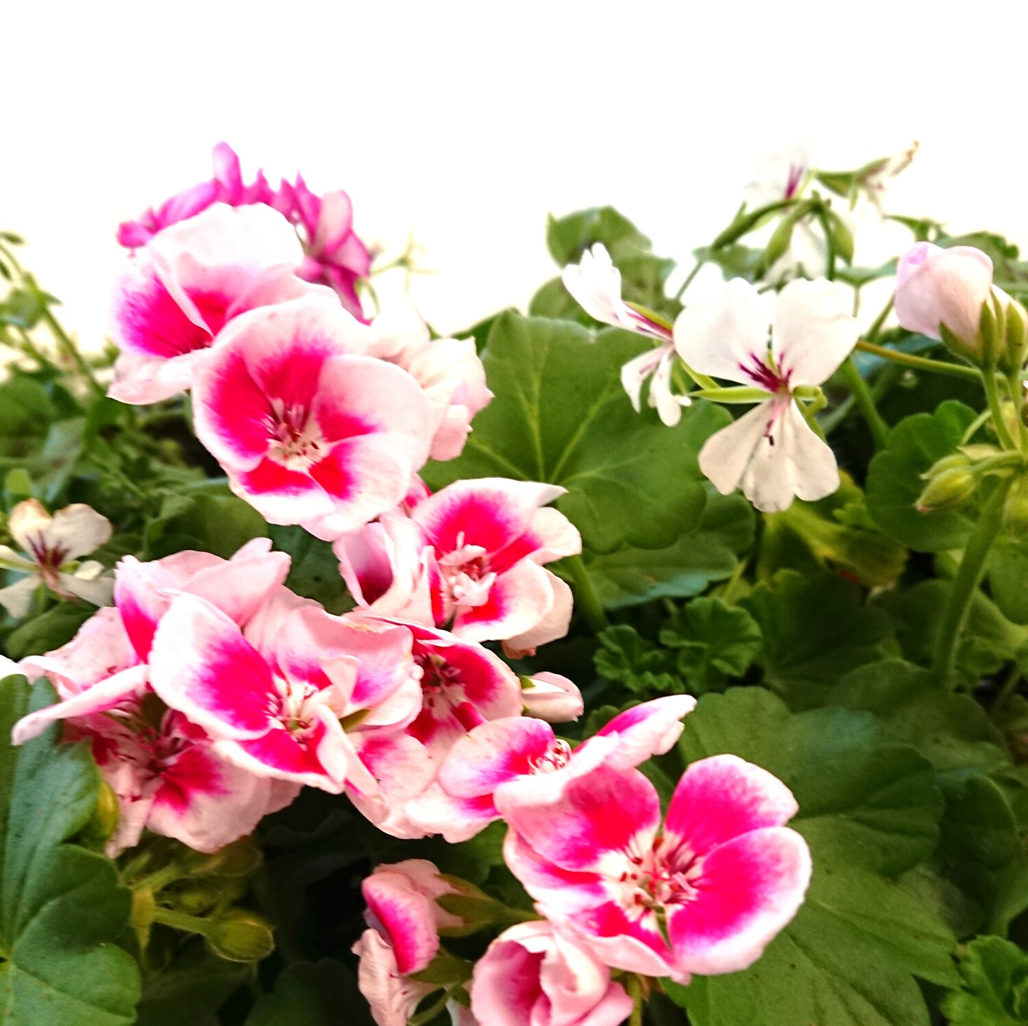 Geranium of de Pelargonium is een ideale plant voor in bloembakken.