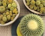 Cactussen zijn ideale kamerplanten die niet zoveel verzorging nodig hebben