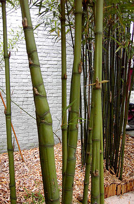 Woekerende soorten bamboe aanplanten met een rhizoombegrenzer of wortelbegrenzer.