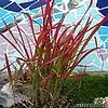 Imperata cylindrica 'Red Baron' of Japans bloedgras als prachtig rood siergras voor de siertuin