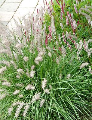 Soorten siergrassen die mooi bloeien met wuivende pluimen in de maand augustus