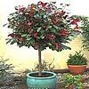 Bomen en struiken planten in potten voor op het terras en balkon - soorten bomen die in aanmerking komen