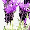 Lavandula stoechas / vlinderlavendel - kuiflavendel - Franse lavendel: snoeien, stekken, soorten,...