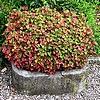 Houttuynia cordata als waterplant met sterke woekerneigingen en mooi gekleurde cultivars