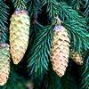 Picea en Abies: verschillen en kenmerken van twee mooie coniferen