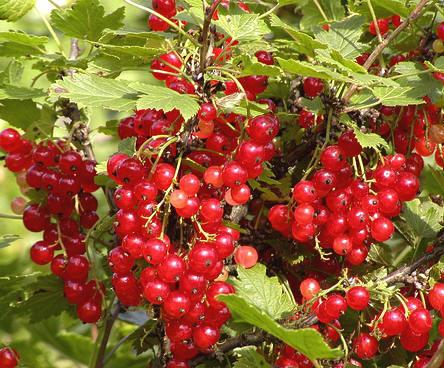 Aalbessen of Ribes rubrum ook rode bes, trosbes of jenevers genoemd