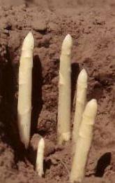 Asperge : Asparagus officinalis (Asparagaceae)