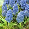 Muscari Blue Spike verkozen tot voorjaarsbloembol van 2010