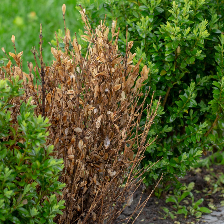 Buxusziektes met bladval en taksterfte: Cylindrocladium buxicoli en Volutella buxi