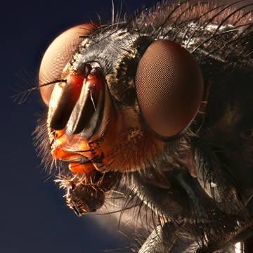 Een stekende huisvlieg