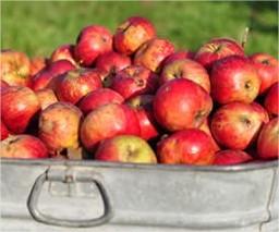 Wanneer appelen en peren plukken en hoe bewaren