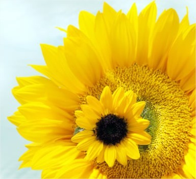 Zonnebloem: koningin van de zomerbloemen