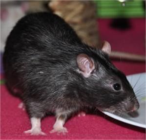Een rattenplaag? Wat nu?
