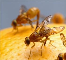 Fruitvliegjes wegvangen