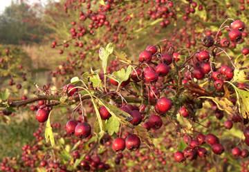 Siervruchten, kleuren de herfst