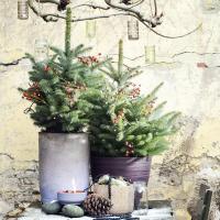 Tuinplant in de kijker: sparren