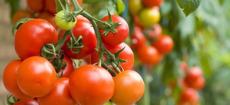Tomaten zaaien