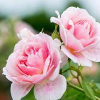 3 Tips om uw rozen een nieuwe boost te geven