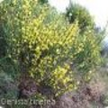Cytissus - brem