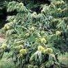 Tamme kastanje (Castanea sativa) en zijn cultivars