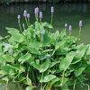 Vijver: het planten van waterplanten: soorten en diepte