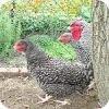 Izegemse koekoek: een oud ras van kippen met goede vlees- en legeigenschappen.