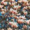 Vroeg bloeiende heesters