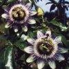 Verschillende soorten klimplanten voor de tuin volgens hun toepassing