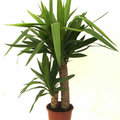 Yucca - palmlelie