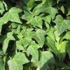 Planten: Wintergroene muren met klimplanten