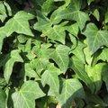 Wintergroene klimplanten