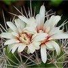 Gymnocalycium: geen moeilijke cactussen om te houden.
