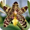 Ansellia africana - luipaardorchidee